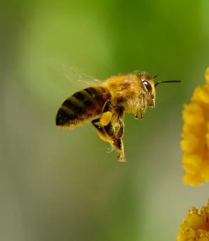 Поведение пчелы, насытившейся подкисшим нектаром, почти не отличается от поведения пьяного человека.