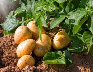 Производствосеменного картофеля высоких репродукций.