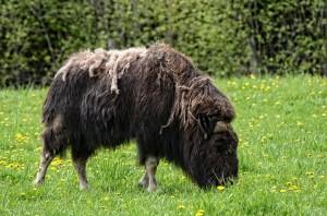 В Московском зоопарке родился теленок краснокнижного овцебыка