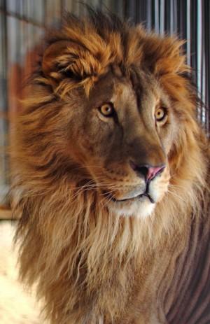 Самарский зоопарк отмечает Всемирный день льва