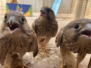 Сотрудники КНПЗ и орнитологи Самарского зоопарка спасли птенцов пустельги