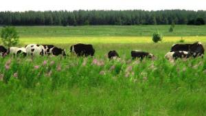 По словам местных, эта трава растет повсюду и никто ее не косит.