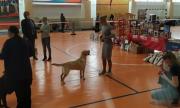Лабрадор ретривер – лучшая собака для городских условий