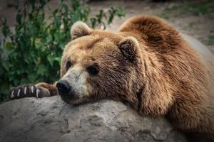 На базе отдыха в Самарской области держат медведя и тигрицу без разрешения