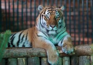 Самарцев приглашают в зоопарк на День Амурского тигра!