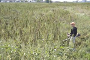 В Самарской области искали наркорастения