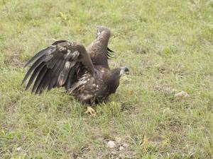 Сотрудники нацпарка Самарская Лука выпустили на волю молодого орлана-белохвоста