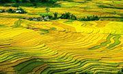 """""""Золотые"""" поля риса в Китае сняли с высоты птичьего полета"""