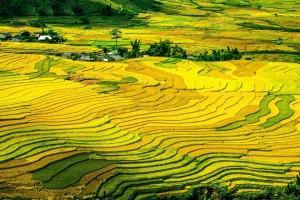 Осеньюместные фермеры собирают здесь урожай вручную.