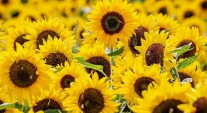 Отмечается, что посевные площади подсолнечника в России выросли за год на 13 процентов.