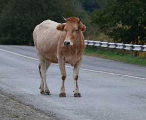 Верховный судРоссиипринял сторону владельца коровы.