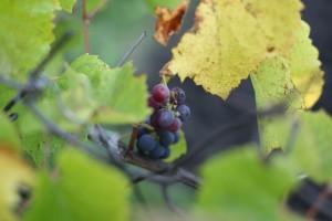 В Самарской области сохранят виноградники