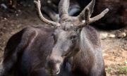 В Самарской области ищут застреливших лося
