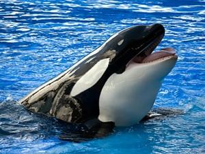 Косатка – морское млекопитающее отряда китообразных, семейства дельфиновых.
