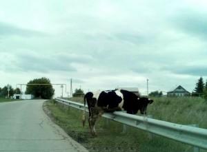 В Самарской области корова застряла на ограждении