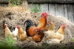 В ходе опроса граждан - владельцев личных подсобных хозяйств, где был выявлен вирус гриппа, установлено, что они приобрели птицу на рынках выходного дня.