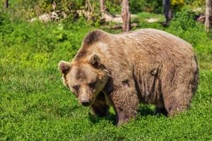 На Аляске отец с сыном застрелили медведей, не зная, что попали в фотоловушку